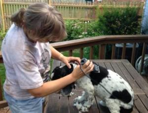 Dog getting shaved