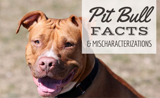 pit bull facts a