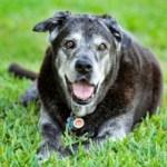 senior dog exercise