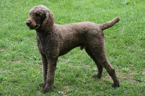 Real Poodle Colors