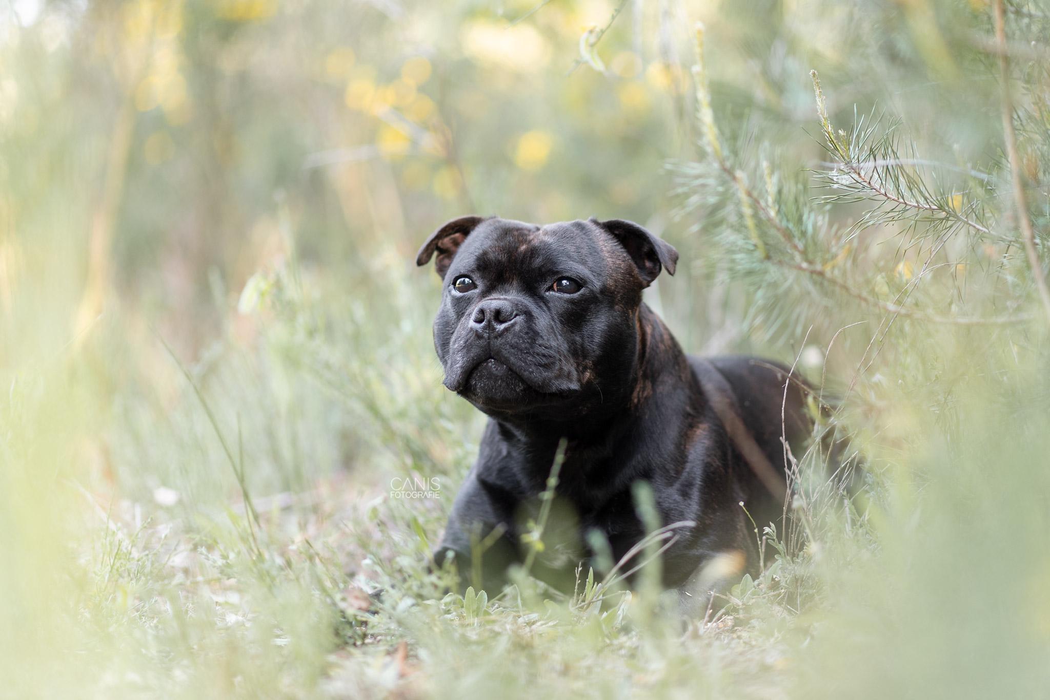 Engelse-stafford_fotoshoot-met-hond