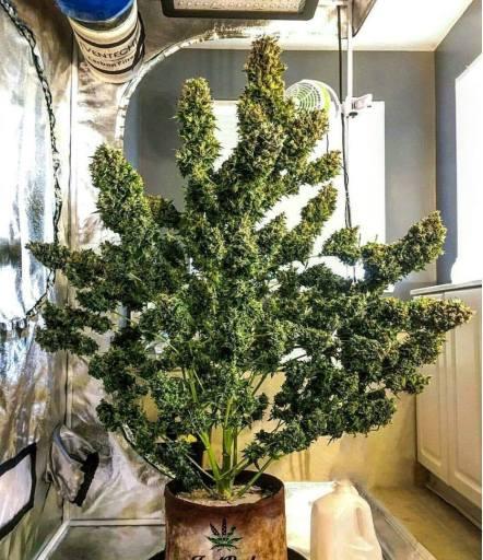 Culture De Cannabis En Interieur Le Guide Ultime Cannabible Org
