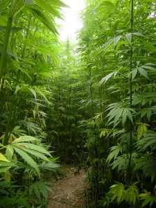 industrial-hemp-spain