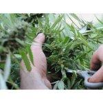 """The Washington Post calificó de hecho """"histórico y significativo"""" la venta de marihuana en Uruguay"""