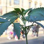 """Científicos reafirman en Chile que la marihuana medicinal es """"segura y eficaz"""""""