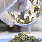 Gobierno da los primeros pasos para activar mercado de cannabis medicinal
