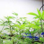 Punta del Este acogerá conferencia internacional sobre cannabis medicinal