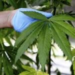 Un precandidato a la Alcaldía de Ciudad de México insta a legalizar el consumo de cannabis en la localidad