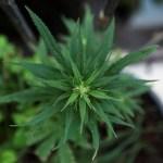 Nueva Zelanda decidirá en referéndum en 2020 si legaliza el cannabis