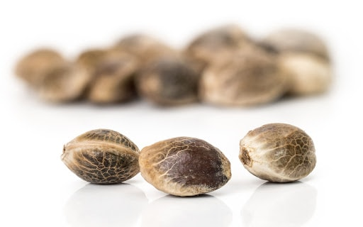 Close Up Of Cannabis Seeds