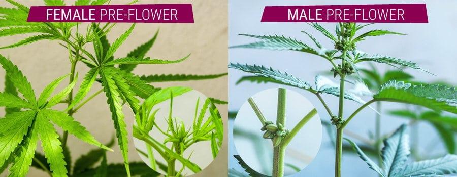 Comparison Of Male And Female Cannabis Plant