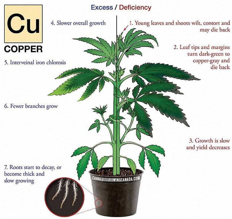 Cannabis Plant With Copper Deficiency