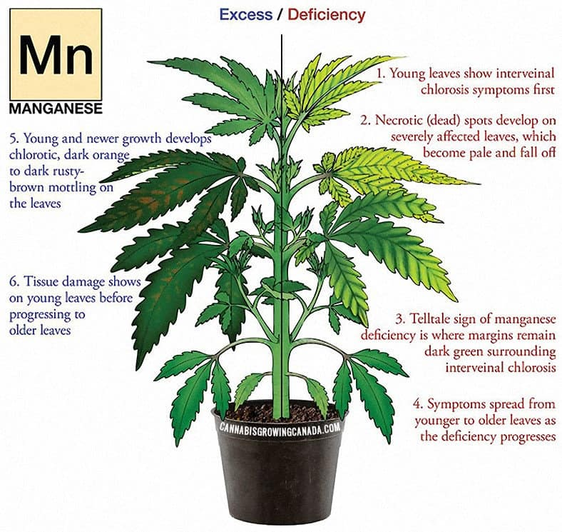 Cannabis Plant With Manganese Deficiency