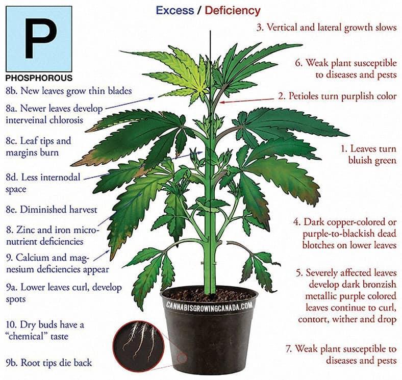 Cannabis Plant With Phosphorus Deficiency
