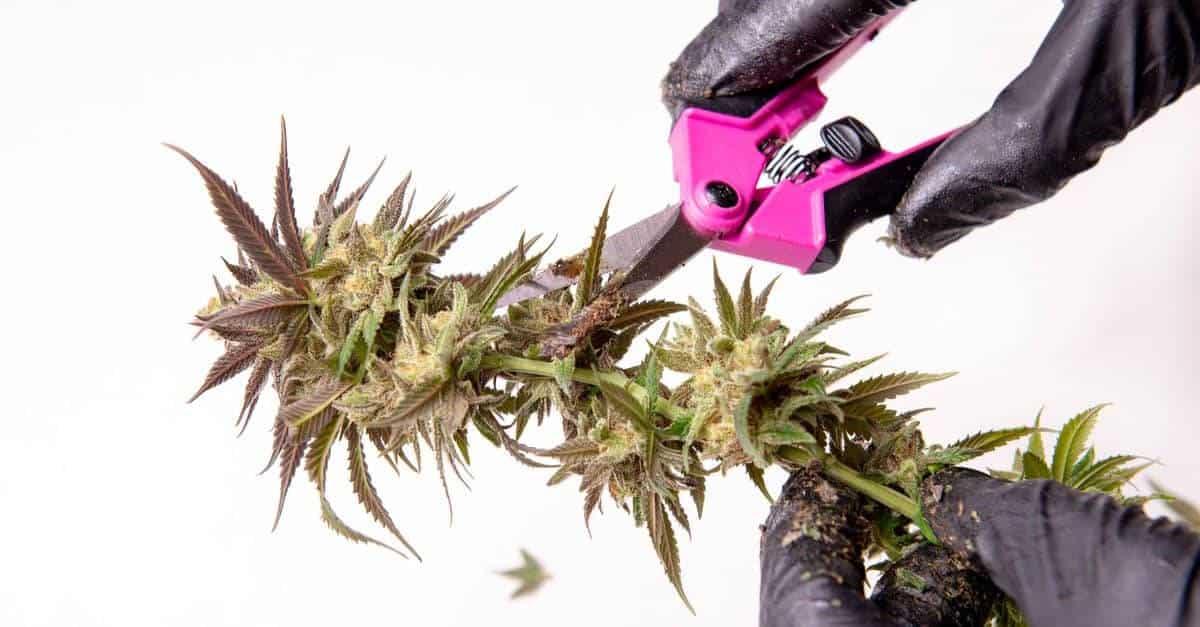 Gloved hands trimming marijuana using snips
