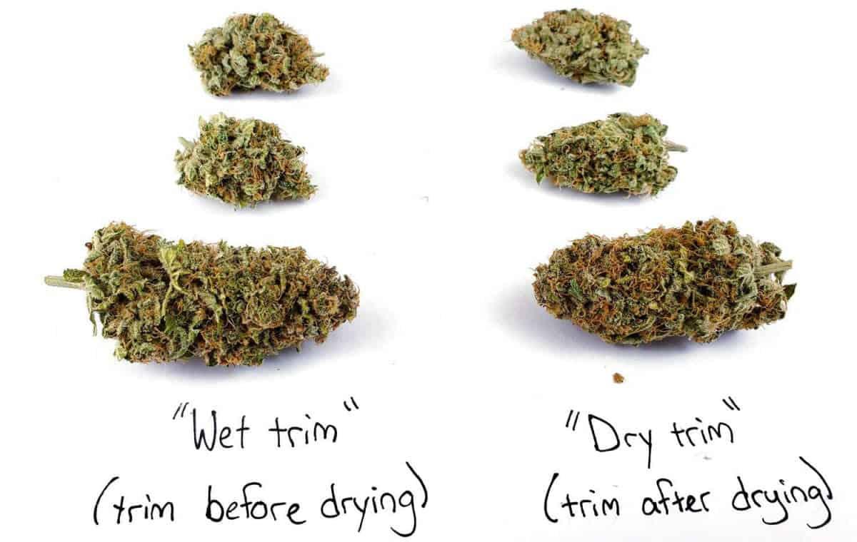 Wet trim compared to dry trim cannabis buds