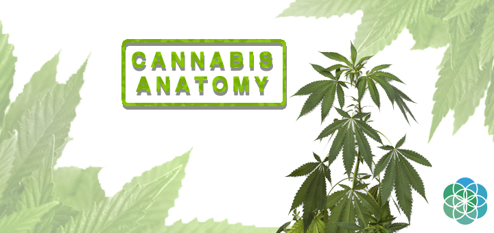 Cannabis Anatomy