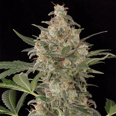 Cheese Auto cannabis seeds south africa