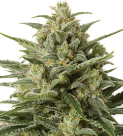 White Widow XXL Auto cannabis seeds south Africa