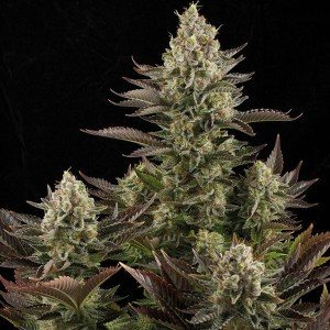 Top Dinafem Strains