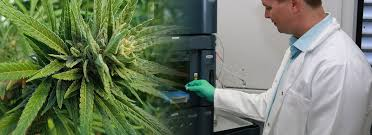 THC Global Scientist Plants - Latest Cannabis News - Cannabiz
