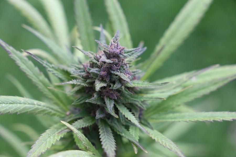 Grow Weed Outdoors in Australia