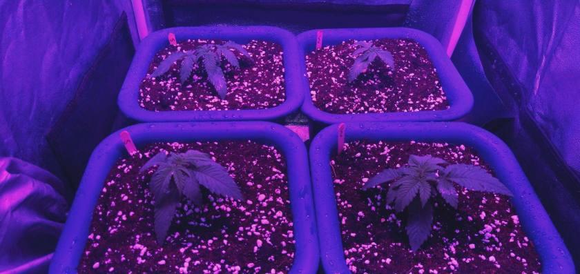 Cannabis after 18 days inside grown