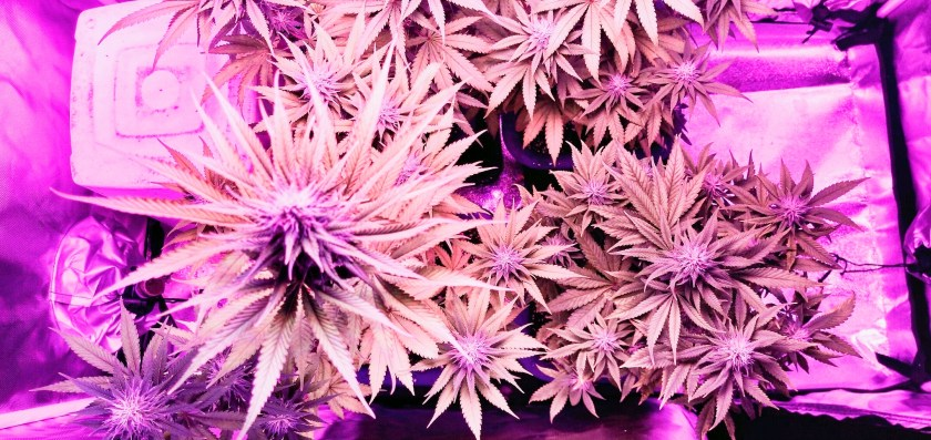 Marijuana after 60 days growing with LED indoors