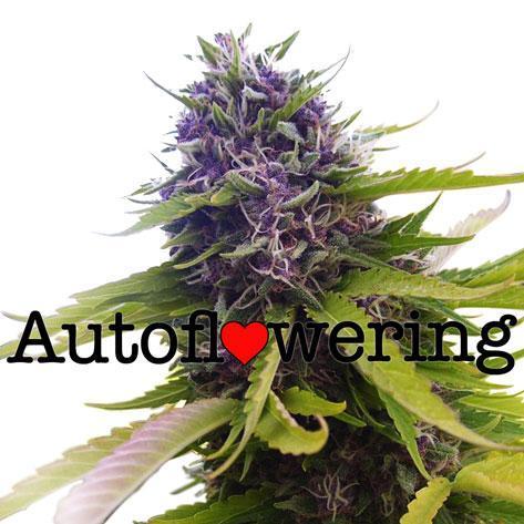 Blueberry Autoflower Cannabis Seeds Australia