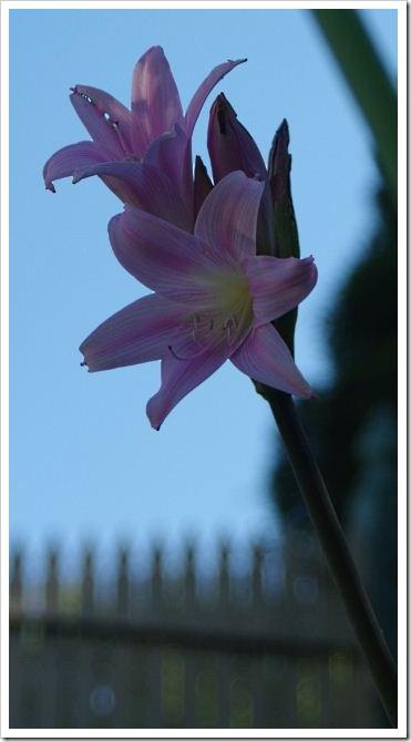 Naked Ladies - Amaryllis belladonna