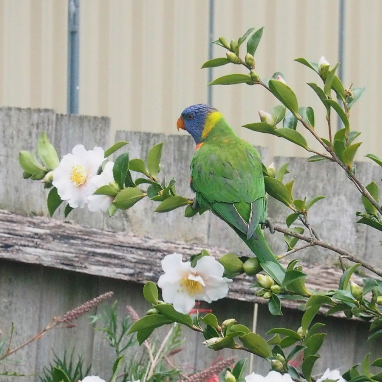 Back Garden Rainbow Lorikeet 2
