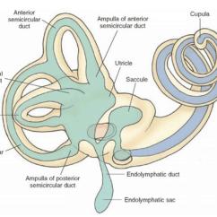 Ear Anatomy Diagram Labeled 2007 Suzuki Eiger Wiring Vestibular Rehabilitation Therapy Christow Canonteign Physio