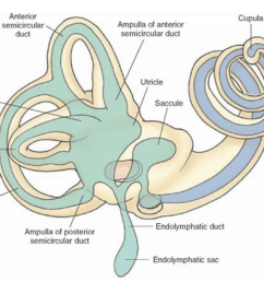 vestibular system in the inner ear [ 1184 x 818 Pixel ]