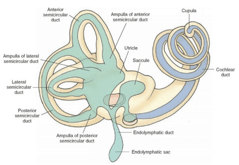 medium resolution of vestibular system in the inner ear