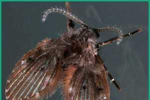 Moth Flies Or Drain Flies Plant Pest Diagnostics