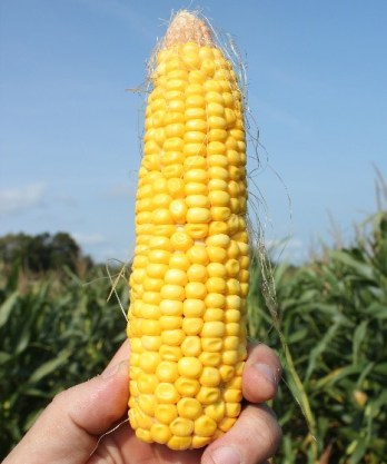 Corn approaching early dent