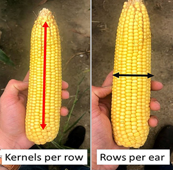 Corn ears showing kernels per row and rows per ear.