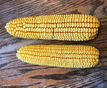 Tar spot impacts on corn size