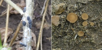 Side by side pictures of sclerotia and apothecia