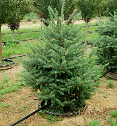 Living Christmas trees Another real tree option