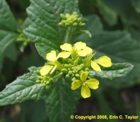 Wild mustard  Weeds
