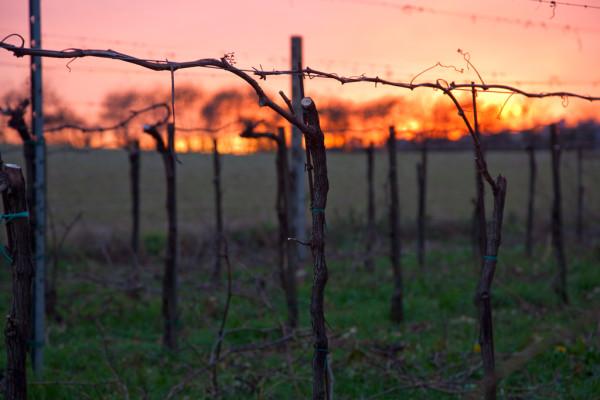 tramonto_vigna