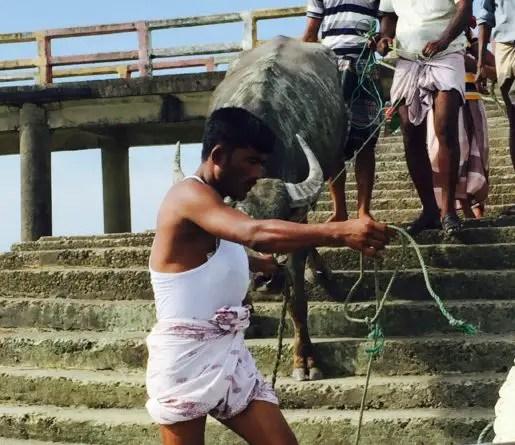 Bull being led onto fishing trawler to Saint Martins Island Bangladesh