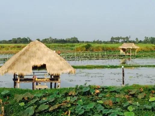Lotus fields Siem Reap Cambodia