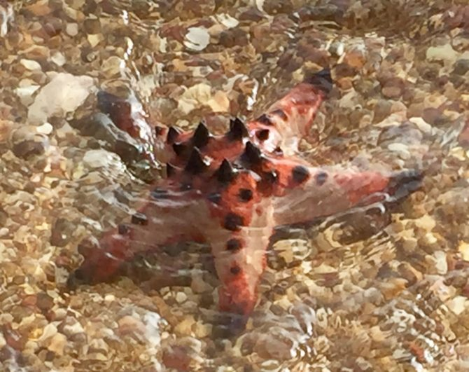 Giant Starfish on Koh Tonsay - Rabbit island near Kep, Cambodia