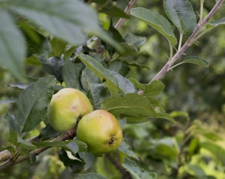 An image of an apple tree in our orchard