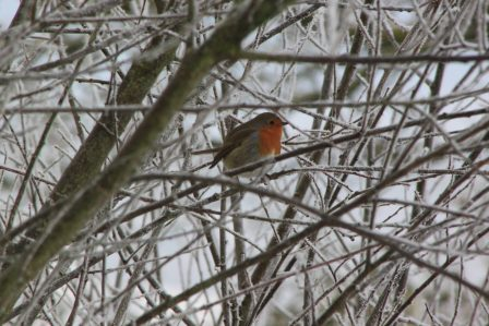 A small robin sits in the branches of a frosty tree