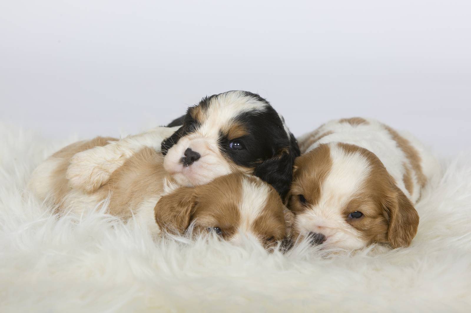 CHIOTS CAVALIER KING CHARLES  CANY EXPRESS