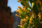 An agave bloom at Grandview Trail's Coconino Saddle