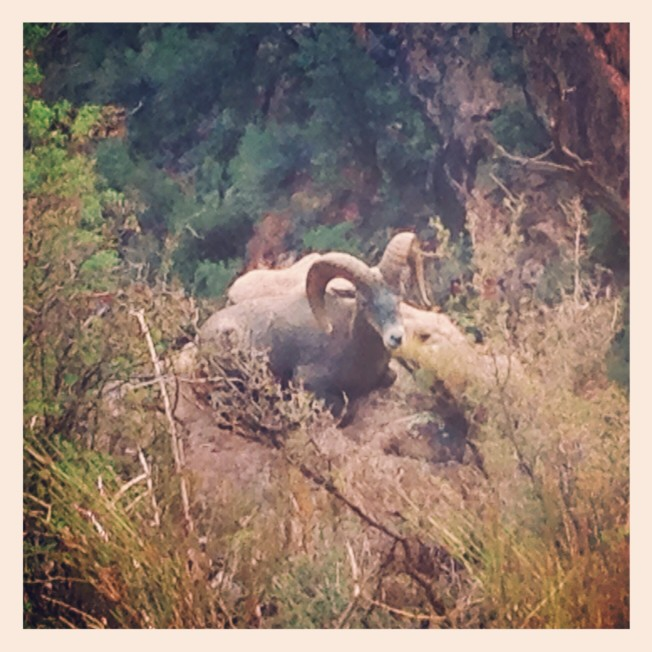 Bighorn sheep along the Bright Angel Trail in Grand Canyon National Park
